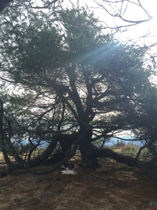 Old Man Pine