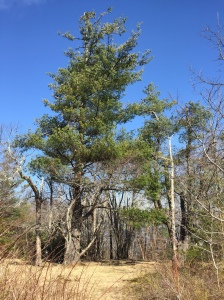 Pine Tree Sentinel In Clearing Near Spence Field