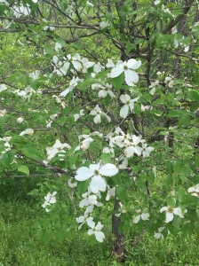 A Late Blooming Dogwood